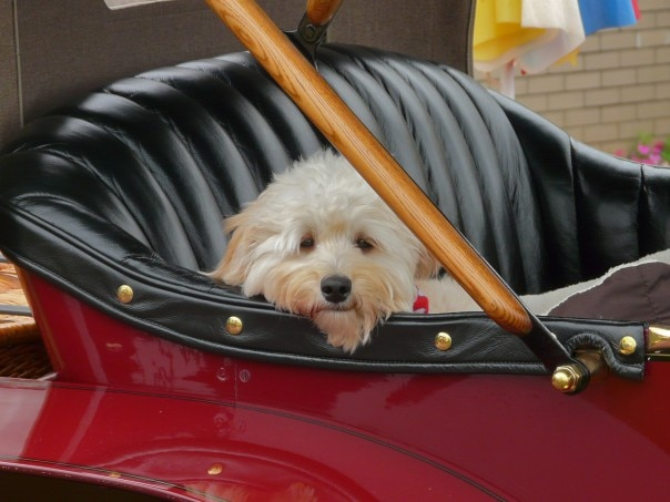 Pampered Pooch In A 1911 Mercedes1 604x453