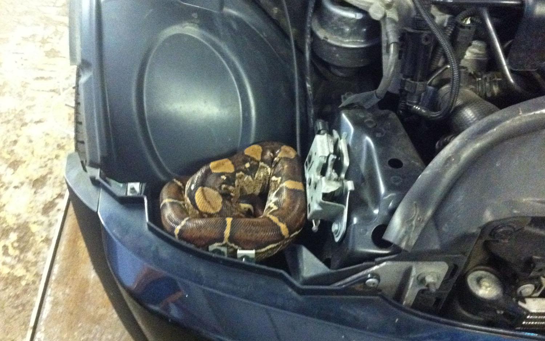 Mini Cooper Snake